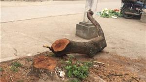 Làm rõ việc chặt cây gây phản cảm ở Thạch Thất, Hà Nội