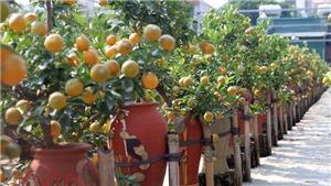 Quất bonsai 'siêu độc, lạ' đón Tết Nguyên đán Mậu Tuất
