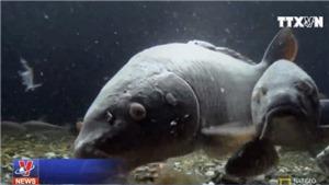 Cá chép, những 'nhân viên môi trường' sống quanh làng của người dân Nhật Bản
