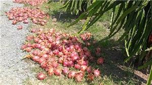 Thanh long Bình Thuận hạ giá do thu hoạch dồn cùng thời điểm
