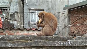 Sống chậm cuối tuần: Sống chung với... khỉ