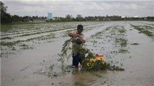 Tết Nguyên đán Kỷ Hợi: Đau xót hình ảnh nông dân vớt dưa hấu Tết trong biển nước