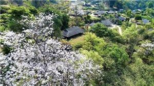 Ngắm hoa ban khoe sắc giữa đất trời Điện Biên