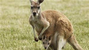 Một người đàn ông bị buộc tội gây ra cái chết của 20 con Kangaroo tại Australia