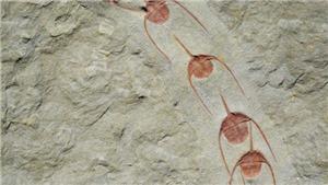 Tập quán bầy đàn xuất hiện sớm nhất từ 500 triệu năm trước