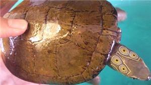 Quảng Ninh: Tạm giữ hình sự đối tượng vận chuyển rùa bốn mắt và rùa trán vàng quý hiếm