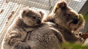 Hàng nghìn con gấu Koala bị chết do cháy rừng tại Australia