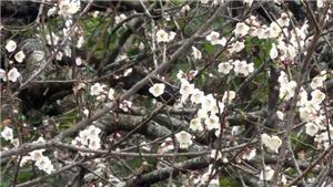 Hoa mơ khoe sắc, nở trắng trên cao nguyên Mộc Châu