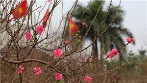 Xuân Canh Tý: Nâng lên giá trị của đào Nhật Tân