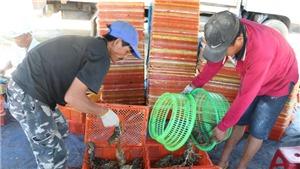 Dịch COVID-19: Tìm đầu ra ổn định cho sản phẩm tôm hùm