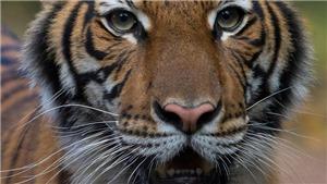 Hổ ở vườn thú New York dương tính với virus SARS-CoV-2