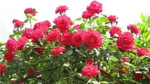 Thư gửi robot Citizen: Hoa hồng vẫn nở