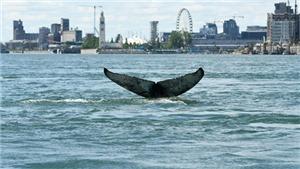 Con cá voi lưng gù từng xuất hiên trên một con sông ở Canada đã chết