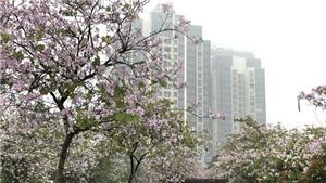 Hoa ban vẫn khoe sắc trong màn mưa Xuân Hà Nội