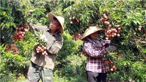 Vượt khó dịch Covid-19, Bắc Giang thu hơn 6.800 tỷ đồng từ vải thiều