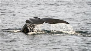 Tàu thuyền chạy quá tốc độ đe dọa đến loài cá voi đang nguy cấp ở Bắc Đại Tây Dương