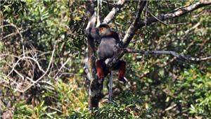 Thả cá thể voọc chà vá chân nâu về Vườn quốc gia Bạch Mã