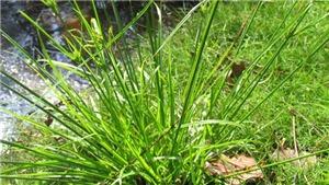 Chữ và nghĩa: Bài thuốc dân gian 'Đau bụng cỏ gú…'