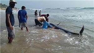 Phát hiện gần 100 cá hoa tiêu chết do bị mắc cạn tại New Zealand