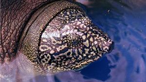 Cá thể rùa ở Đồng Mô, Hà Nội là loài rùa Hoàn Kiếm, giống cái