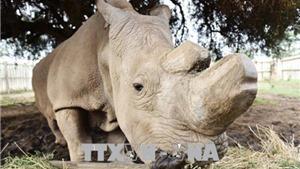 Con tê giác trắng phương Bắc đực cuối cùng trên thế giới đã chết