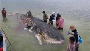 Bất ngờ phát hiện xác cá voi với 6 kg nhựa trong dạ dày