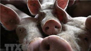 Khởi tố, bắt tạm giam cán bộ xã khai khống lợn bị dịch tả lợn châu Phi để nhận tiền hỗ trợ