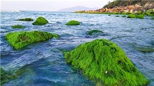Đà Nẵng: Đẹp lạ mùa rêu xanh mướt ở rạn đá Nam Ô