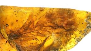 Phát hiện mảnh hổ phách chứa cánh chim lớn bất thường cách đây 99 triệu năm