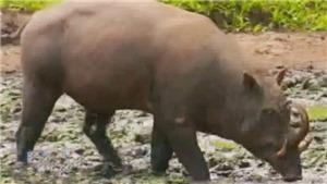 Năm con lợn - Xem những giống lợn kỳ lạ trên thế giới