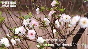 Nhất chi mai, đào Nhật Tân, bưởi thế tuyệt đẹp chờ rước về chơi Tết