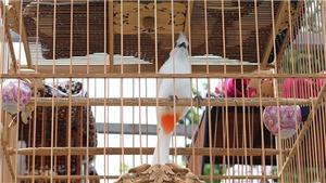 VIDEO: Tận mục những màn thi của chim chào mào đột biến gen 'độc nhất vô nhị'