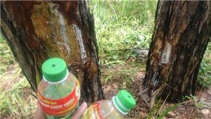 Lâm Đồng: Tạm giữ hai người liên quan vụ đầu độc rừng thông 3 lá