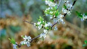 Lên Điện Biên ngắm hoa mận trắng muốt dưới chân đèo Tằng Quái