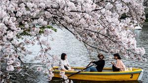 Hoa anh đào Nhật Bản nở sớm bất thường do biến đổi khí hậu