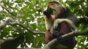 Theo chân những nhà báo 'săn voọc' trên bán đảo Sơn Trà