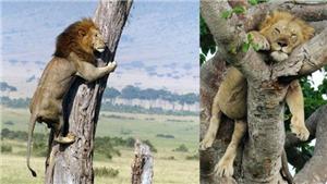Kỳ lạ cặp anh em sư tử ngủ trên cây như chim