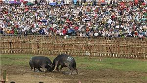 Chọi trâu xã Hải Lựu: 3 triệu đồng/1 kg thịt trâu... vô địch