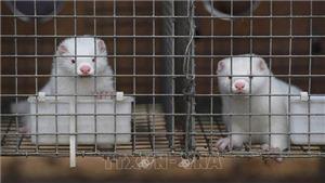 Dịch COVID-19: Hà Lan tiêu hủy thêm hai trang trại nuôi chồn nhiễm virus