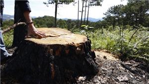 Lâm Đồng: Xử phạt đối tượng hạ độc 22 cây thông cổ thụ để chiếm đất sản xuất